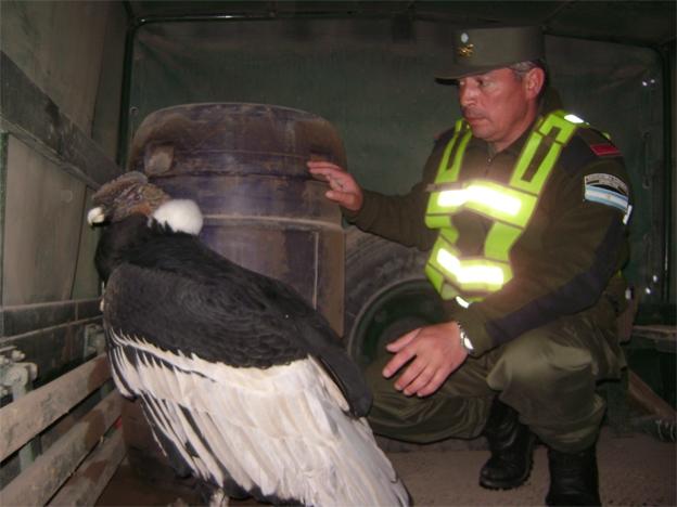 Cóndor rescatado en Malargüe- Foto Prensa G endarmería Nacional